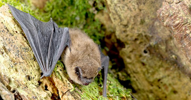 The Wildcare Guide to Bats - The Common Pipistrelle