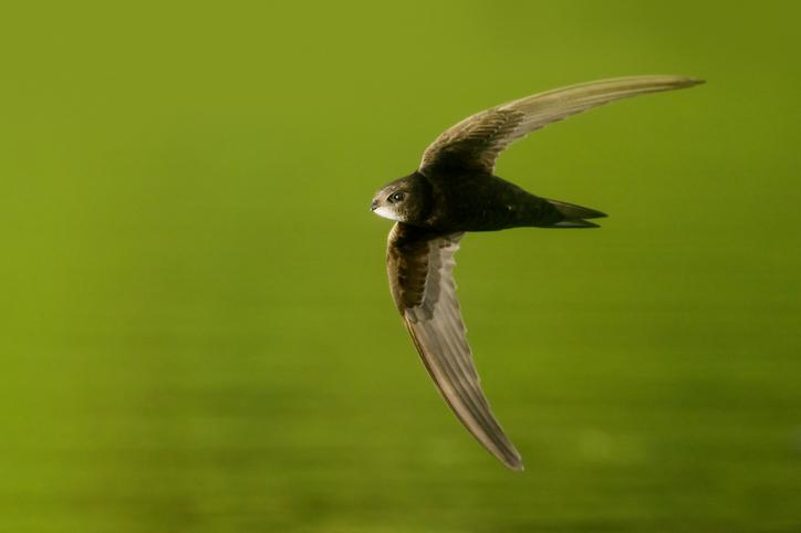 The Swift - birds without feet - high and fast