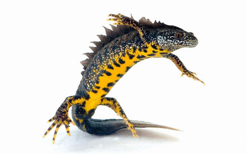 British Great Crested Newts