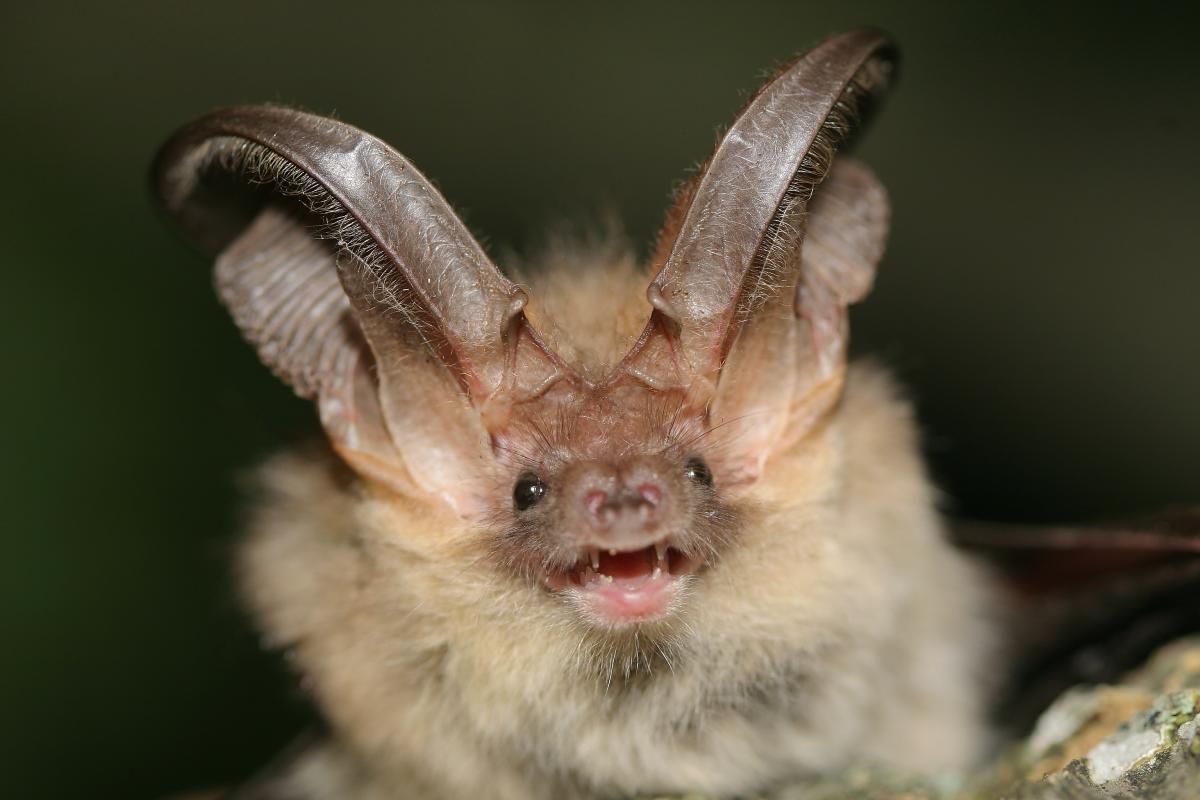 The Wildcare Guide to Bats - Brown Long-eared Bat