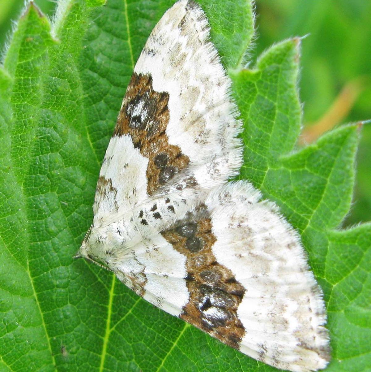 40 Year Moth Study