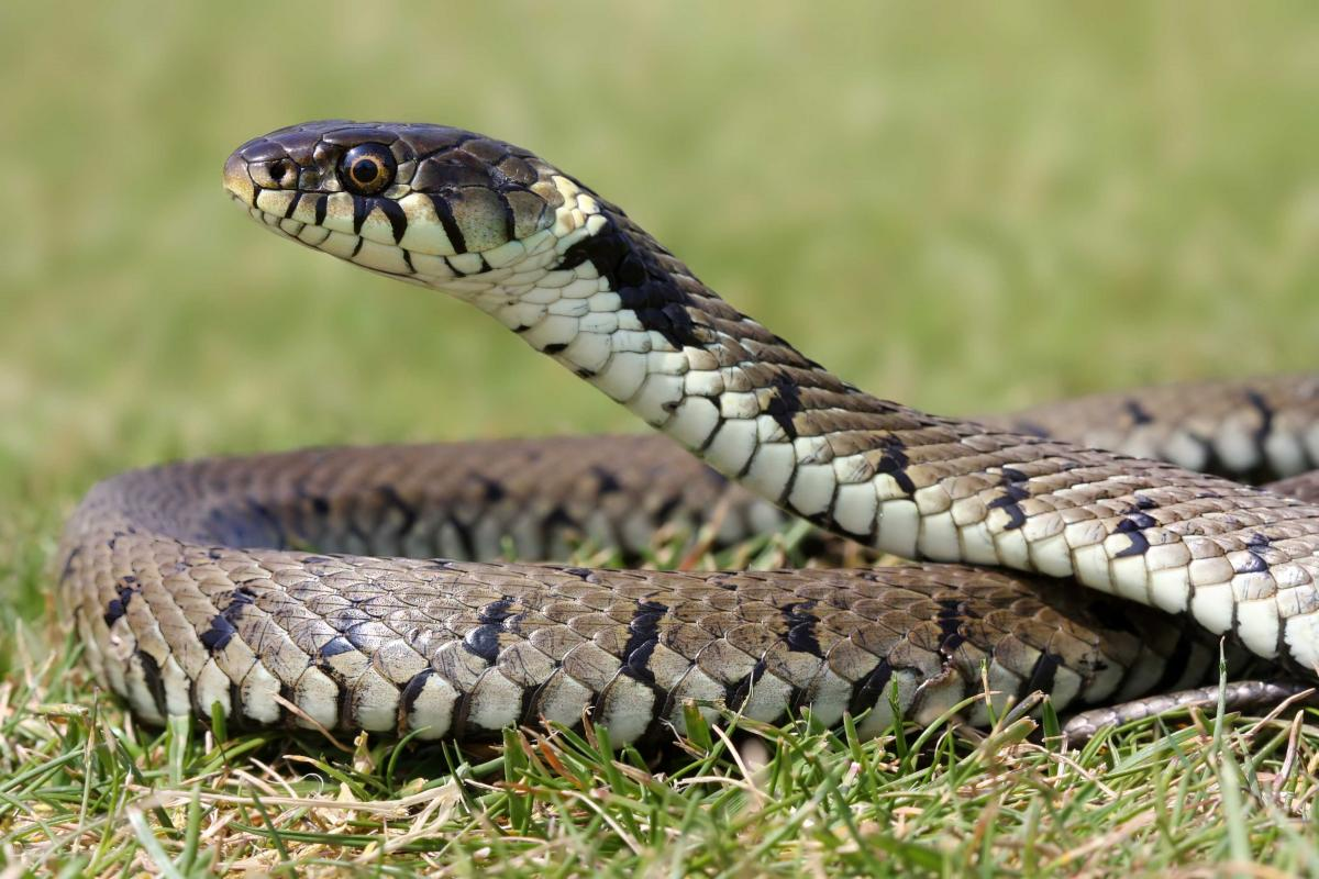 Reptile Disease Precautions: A Guide for UK Fieldworkers