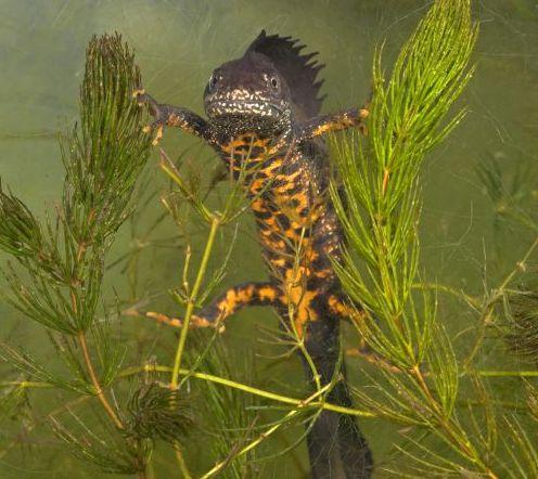 Using eDNA to sample for great crested newts