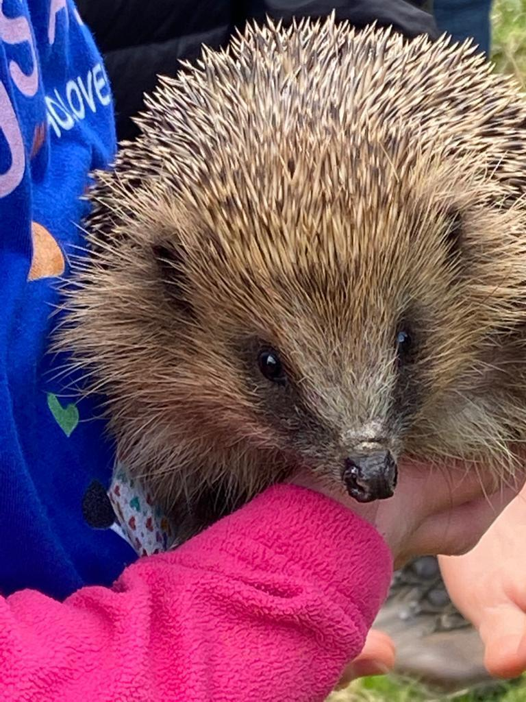 Hedgehogs: Local Case Study and Fact File
